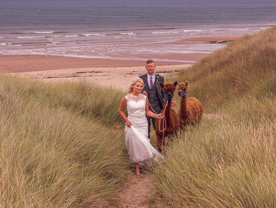 alpaca-wedding-northumberland