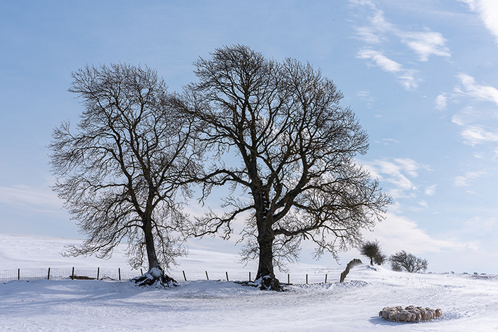 Silhouettes of winter trees