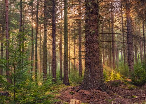 Shafts of Sunlight - Callaly Forest Northumberland