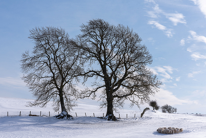Huddled for warmth - Winter in Northumberland