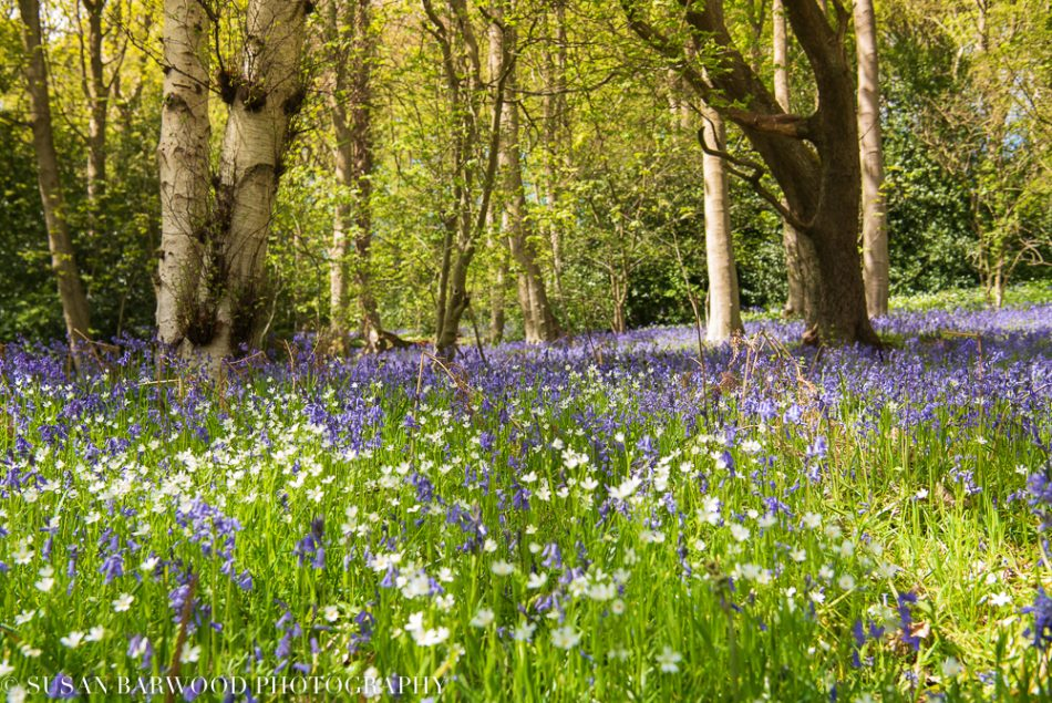 bluebell-wood-landscape=photography